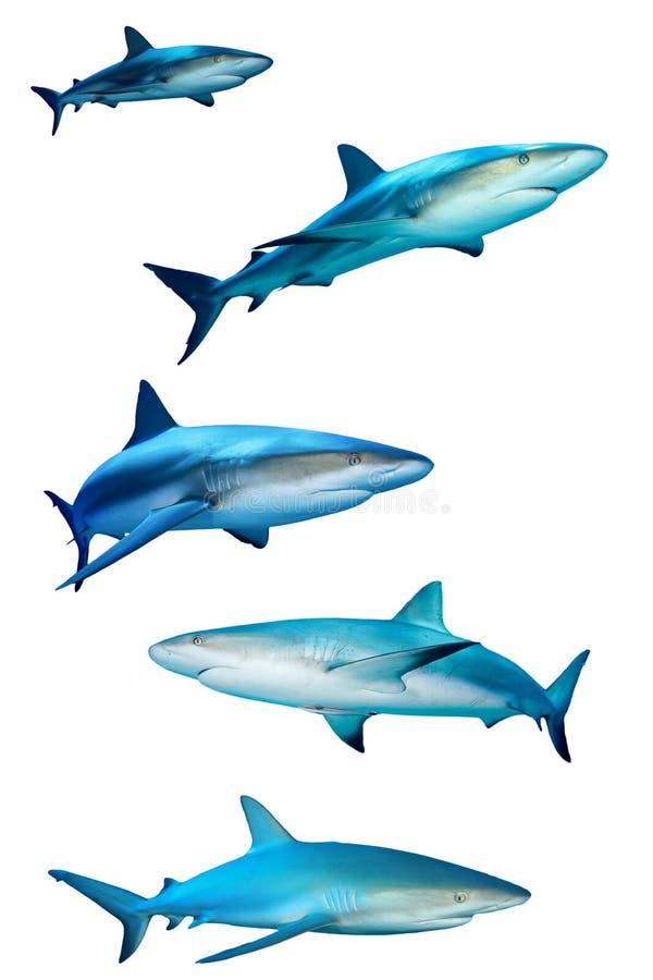 Tiburones en blanco imágenes de archivo libres de regalías