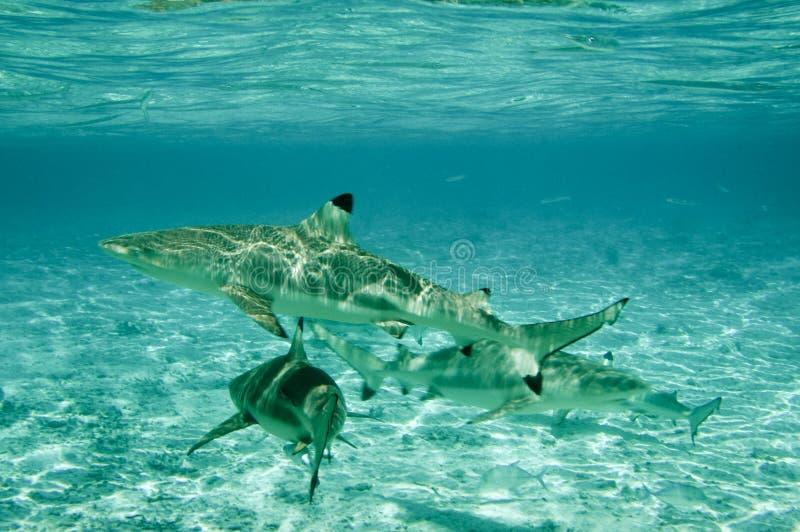 Tiburones inclinados negro del filón foto de archivo