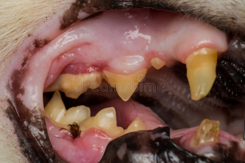 Very old cat dentition, fractured teeth and bacterial plaque. Very old cat dentition, fractured teeth, bacterial plaque and gingivitis royalty free stock photos
