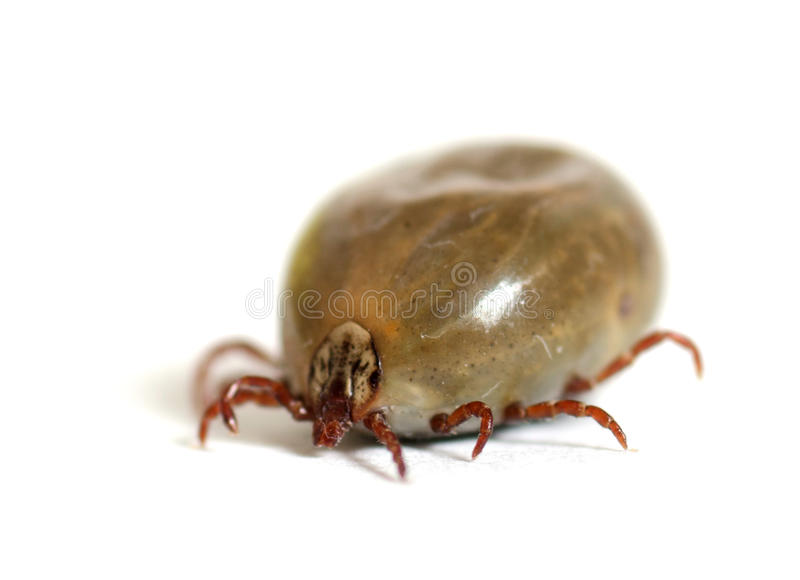 Tick bloated with blood stock photos