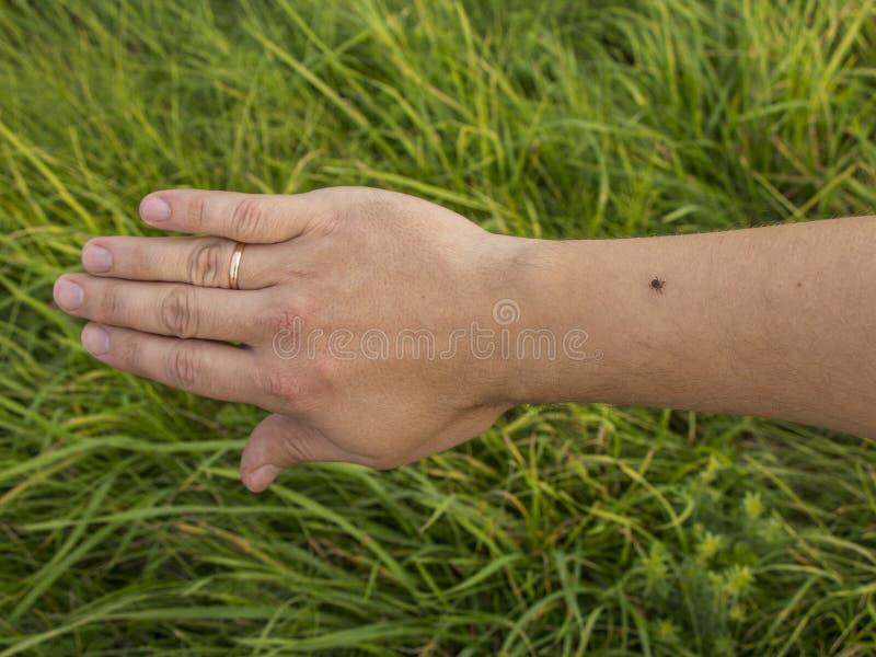 Tick. Detail tick - parasite on skin of man Rhipicephalus sanguineus. Tick on man hand skin. Encephalitis tick Ticks on human skin. Ixodes ricinus can transmit stock images