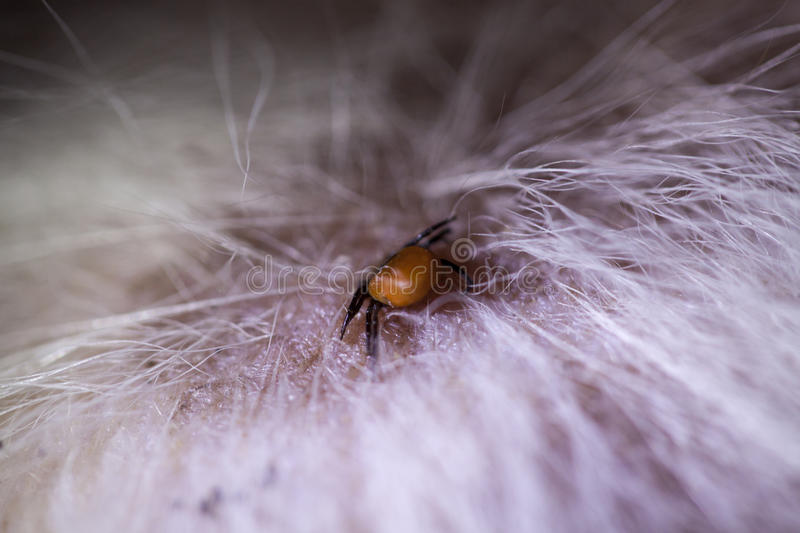 Tick on dog. Tick biting on the skin of a dog royalty free stock photography