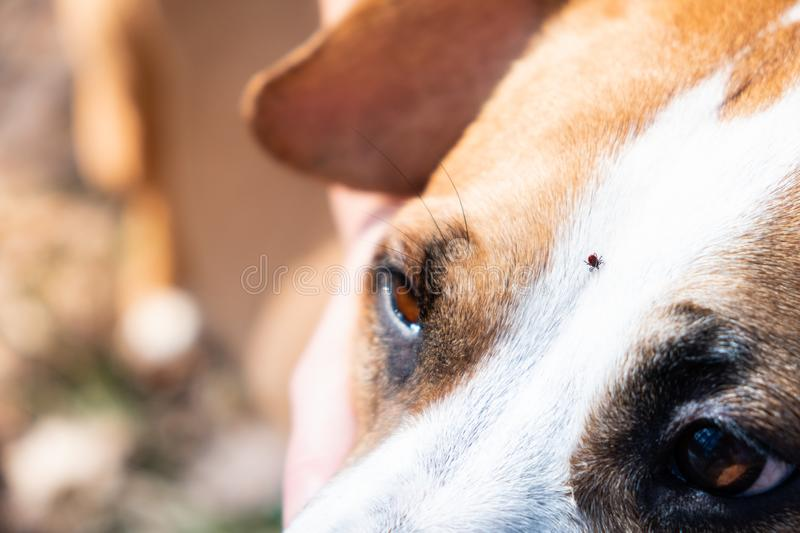 Tick on a dog, close-up view. Mite crawling on the head of a domestic pet at walk outdoors stock photography