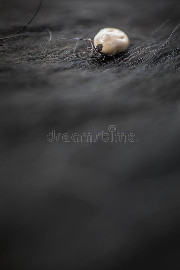 Tick in a dog`s fur sucking his blood royalty free stock photo