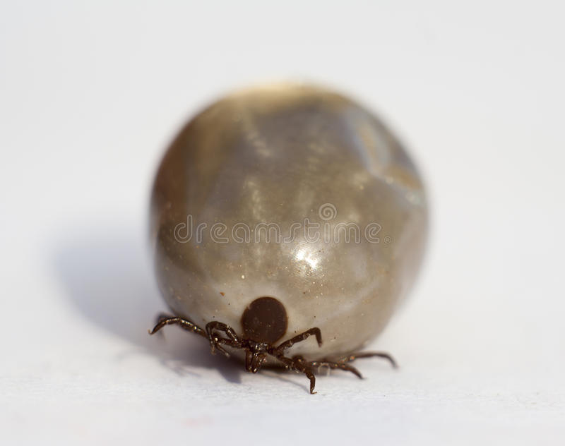 Tick. Fed tick on white background extreme closeup royalty free stock images