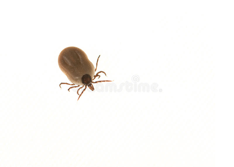 Tick filled with blood stock images