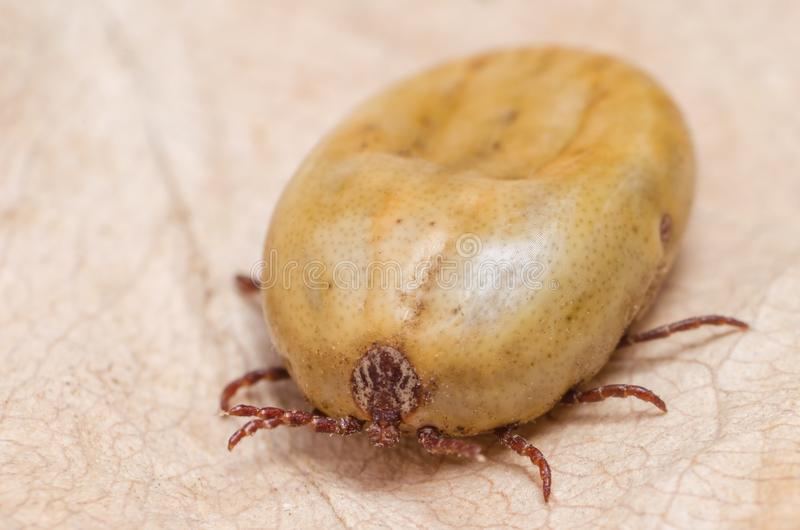 Tick filled with blood sitting on a dry leaf stock photography