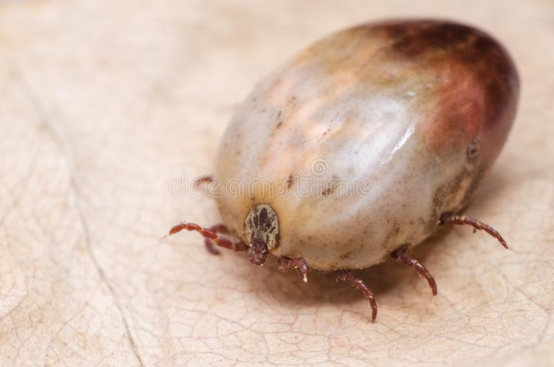 Tick filled with blood sitting on a dry leaf stock photo