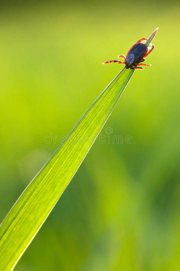 Tick on grass stock photography