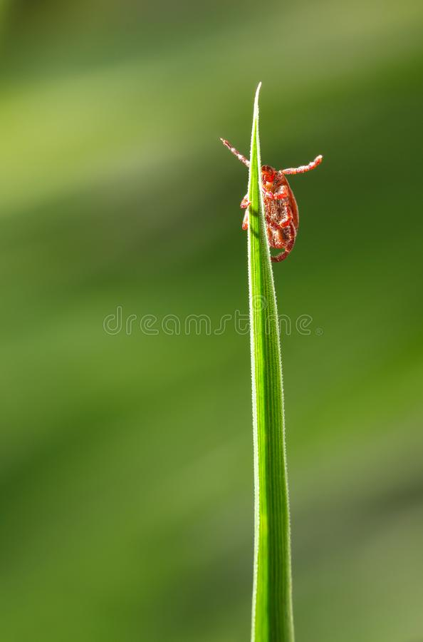 Tick on grass royalty free stock images
