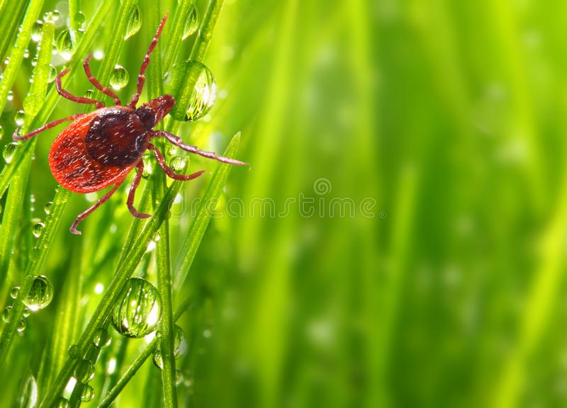 Tick on green grass. Dangerous parasite. royalty free stock image