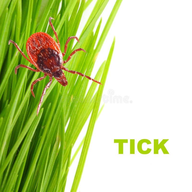 Tick on green grass. Dangerous parasite. royalty free stock photos