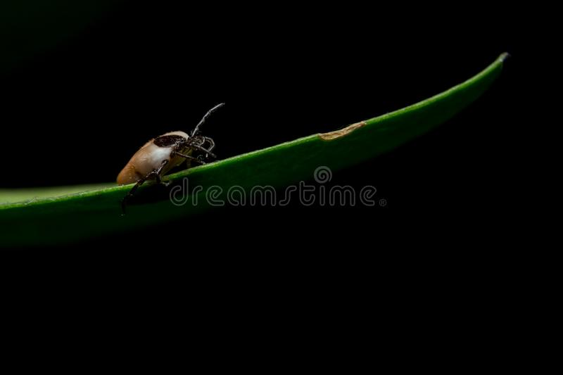 Tick on the green leaf waiting the host. Small tick on green leaf and black background stock images