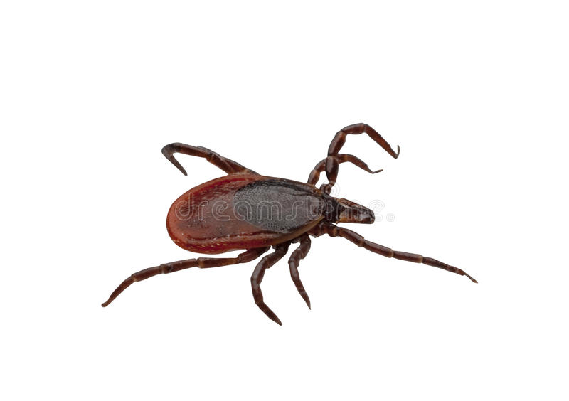 Tick, isolated with clipping path. Close-up of isolated ixodid tick on a white background, isolated with clipping path stock photography