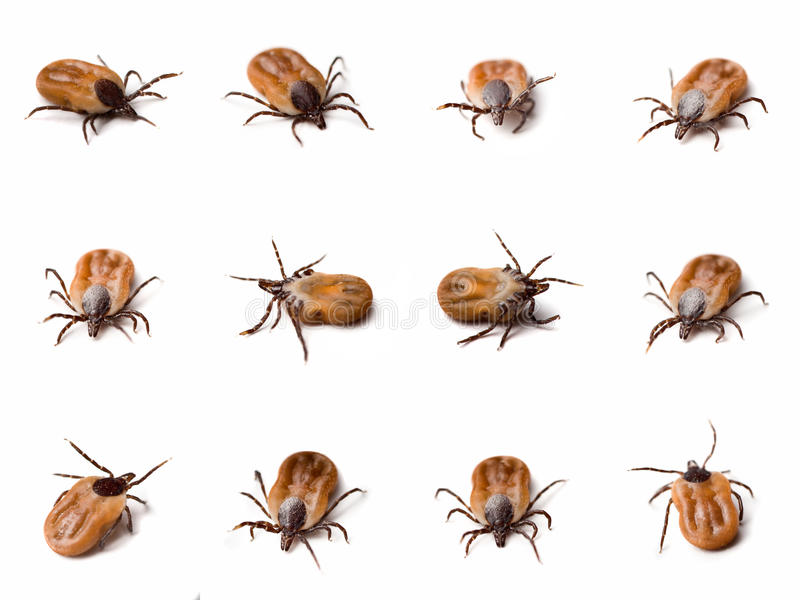 Download Tick (Ixodes Ricinus) Close Up Stock Image - Image of macro, disease: 10956141