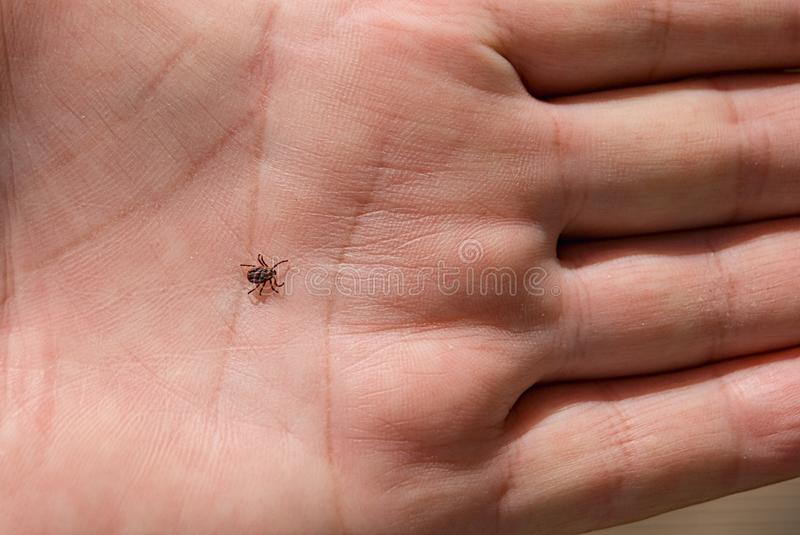 The tick Ixodes ricinus crawling on human skin. Encephalitis tick. This kind of animal is a distributor of borrelia.  royalty free stock photography
