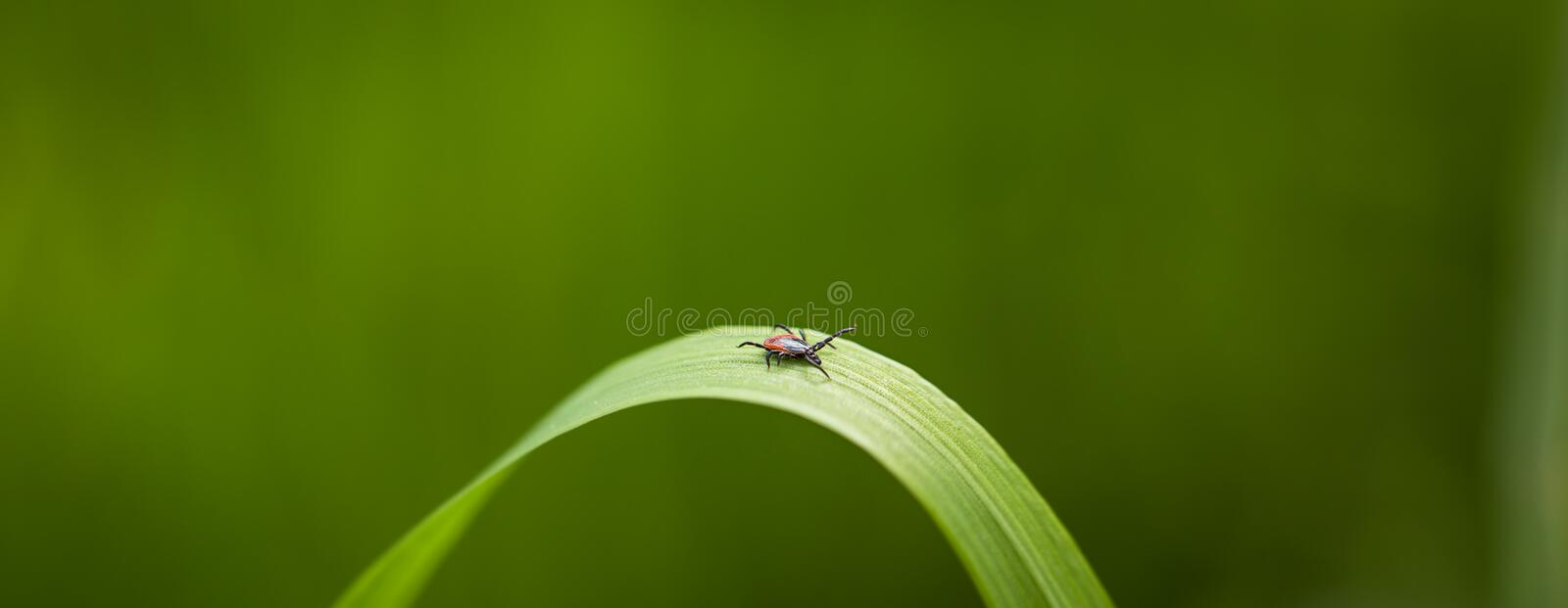 Tick Ixodes ricinus waiting for its victim on a grass blade stock photography