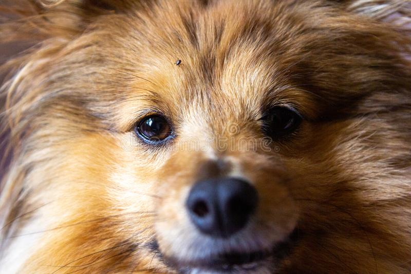 Tick runs around on the face of a dog stock photos