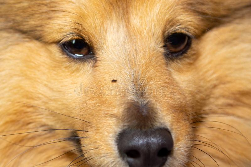 Tick runs around on the face of a dog. A tick runs around on the face of a dog royalty free stock photo