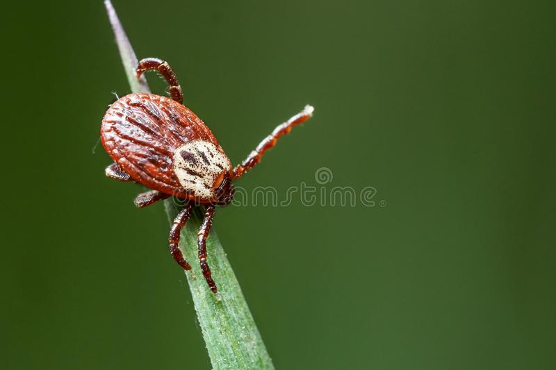 Tick sitting on the green grass waiting for his victim in spring outdoors stock images
