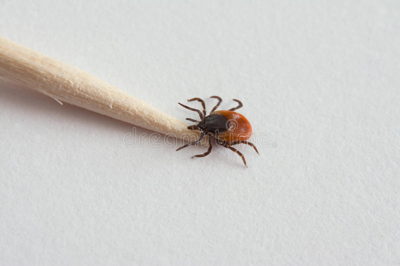 Tick on toothpick stock images