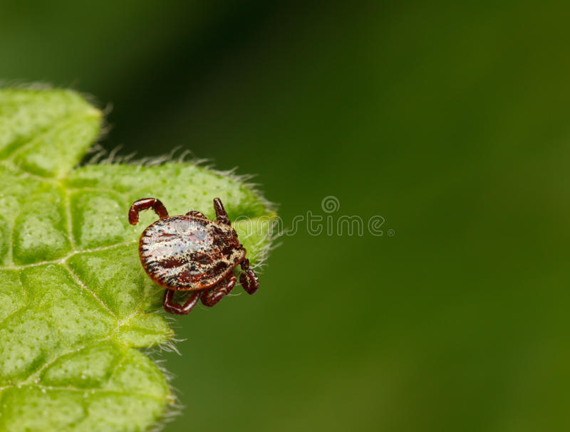 Tick waiting for host stock photo