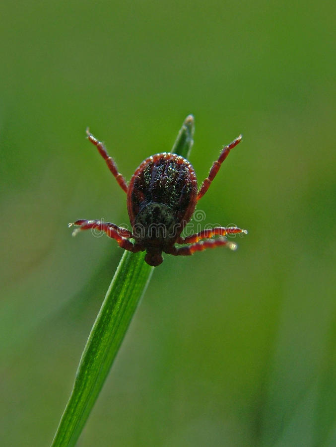 Tick waiting for its prey royalty free stock images