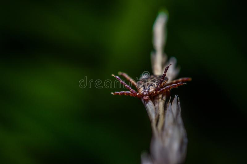 Tick waiting for a prey royalty free stock photos