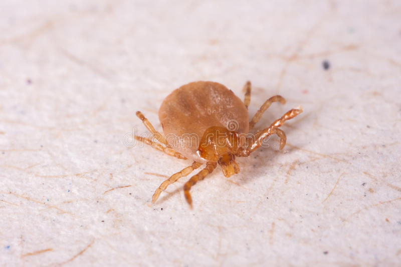 Tick. In white background macro stock image