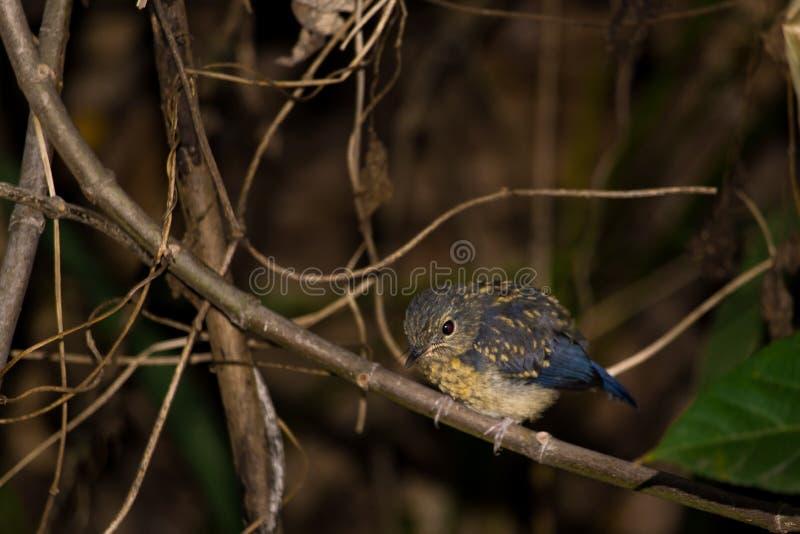 Tickell& x27; blåa flugsnapparefåglar för s arkivfoton