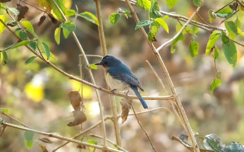 Tickell ` s蓝色捕蝇器鸟在印多尔,印度附近的一个森林里 库存图片