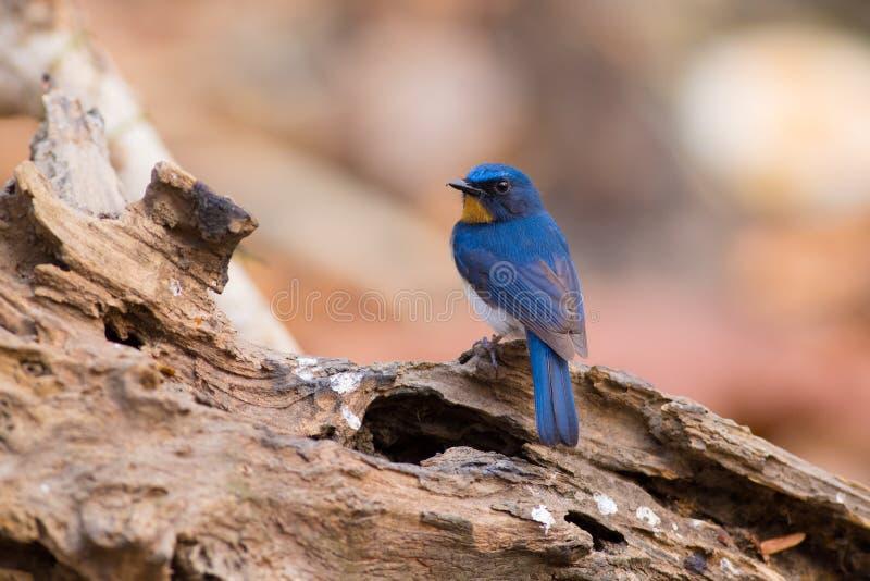 Tickell ` s蓝色捕蝇器 库存照片