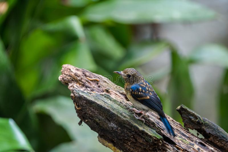 Tickell's blue-flucatcher Cyornis tickelliae Juvenile,perching royaltyfri fotografi