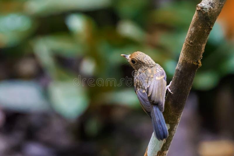 Tickell's blue-flucatcher Cyornis tickelliae Juvenile,perching fotografering för bildbyråer