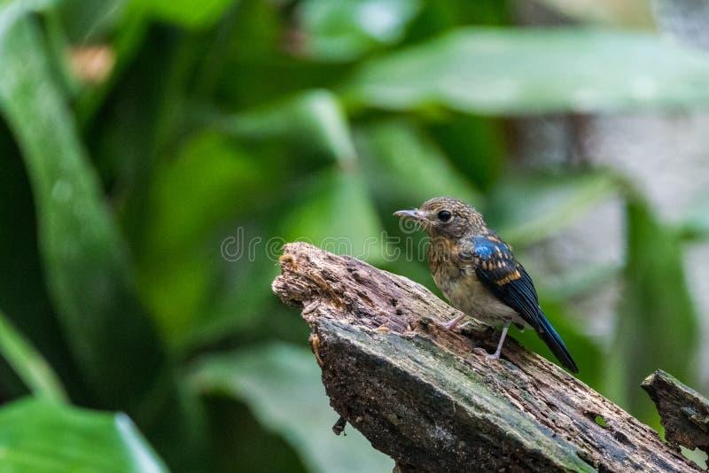 Tickell's blue-flucatcher Cyornis tickelliae Juvenile,perching arkivfoton