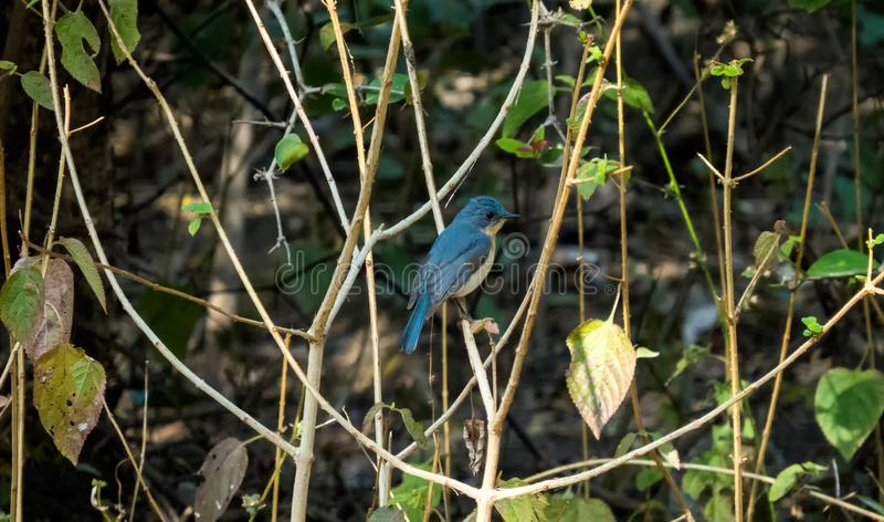 Tickell`s blue flycatcher bird in a forest near Indore, India. Tickell`s blue flycatcher bird in morning light of a forest near Indore, India royalty free stock photography