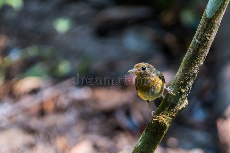 Tickell's brun-flugsnappare Cyornis tickelliae Juvenile,perching arkivfoton