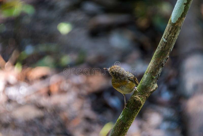 Tickell's brun-flugsnappare Cyornis tickelliae Juvenile,perching arkivbild