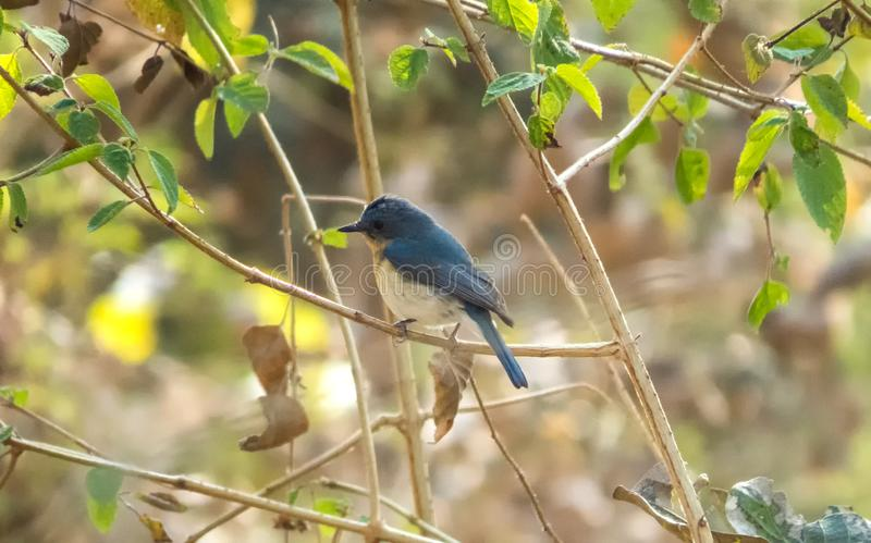 Tickell ` s flycatcher błękitny ptak w lesie blisko Indore, India obrazy stock