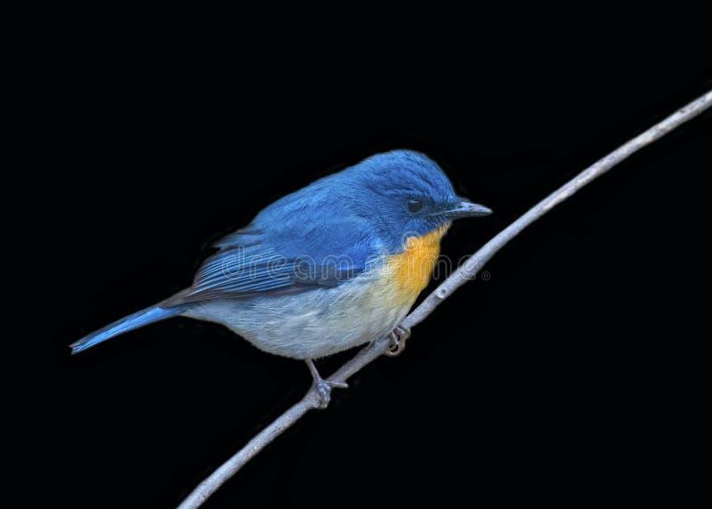 Tickells blåa flugsnappare som isoleras på svart bakgrund fotografering för bildbyråer