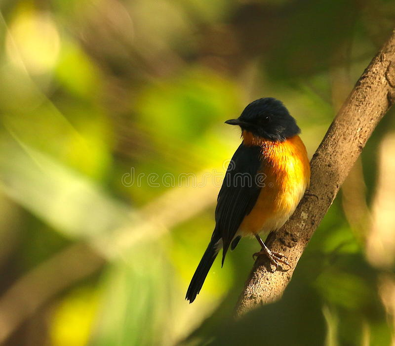 A tickets flycatcher in its natural abode stock photos