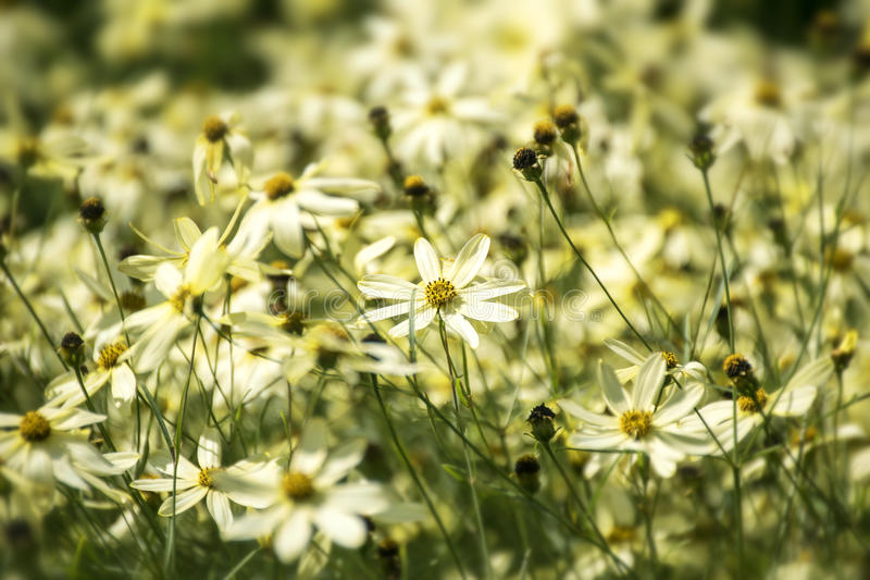 Tickseed or Coreopsis verticillata or Moonbeam with bright yello. Tickseed or Coreopsis verticillata or Moonbeam, a bright yellow flower meadow with branched royalty free stock images