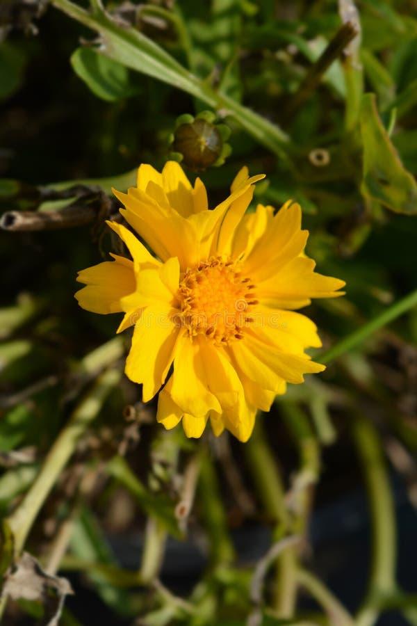 Tickseed Corey Yellow fotografía de archivo libre de regalías