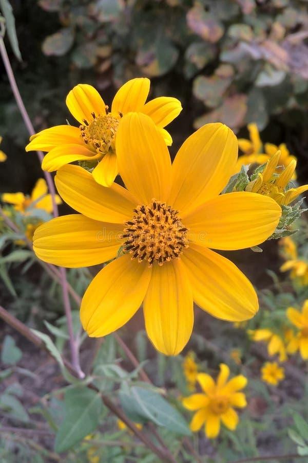 Tickseed kwiat fotografia royalty free
