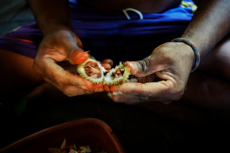 Ticuna indian tribal member pealing plant seeds to produce tribal paint for decoration. Macedonia, Colombia stock image