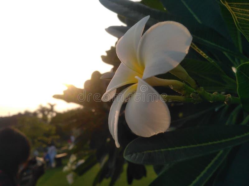 Tid av solnedgången med denna vita blomma royaltyfri foto