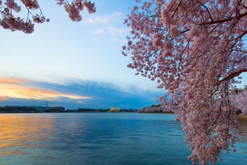 Tidal Basin at Dawn in Washington DC, during the Cherry Blossom Festival stock image