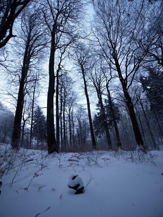 Tidig förkylning och dimmig morgon på rimfrostbokträdträd i snöig vinterskog på bergmaximumet, royaltyfri fotografi