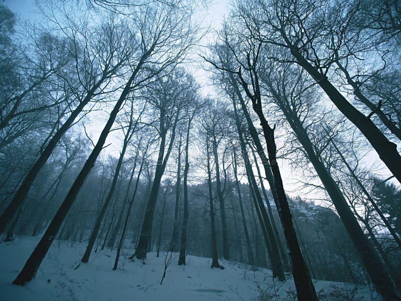 Tidig förkylning och dimmig morgon på rimfrostbokträdträd i snöig vinterskog på bergmaximumet, arkivfoto