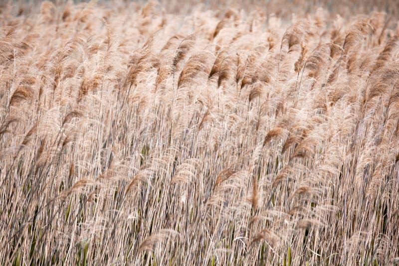 tidig sommar f?r lakemorgonkust Kust- växter, textur, vass, modell Brown f?rg royaltyfri fotografi